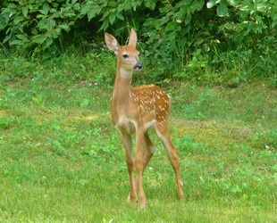 hind_young_deer_310_250